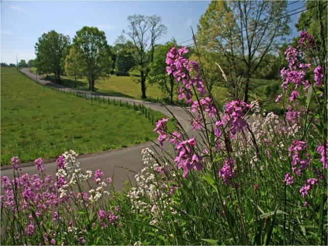 Pink flowers along curvy road